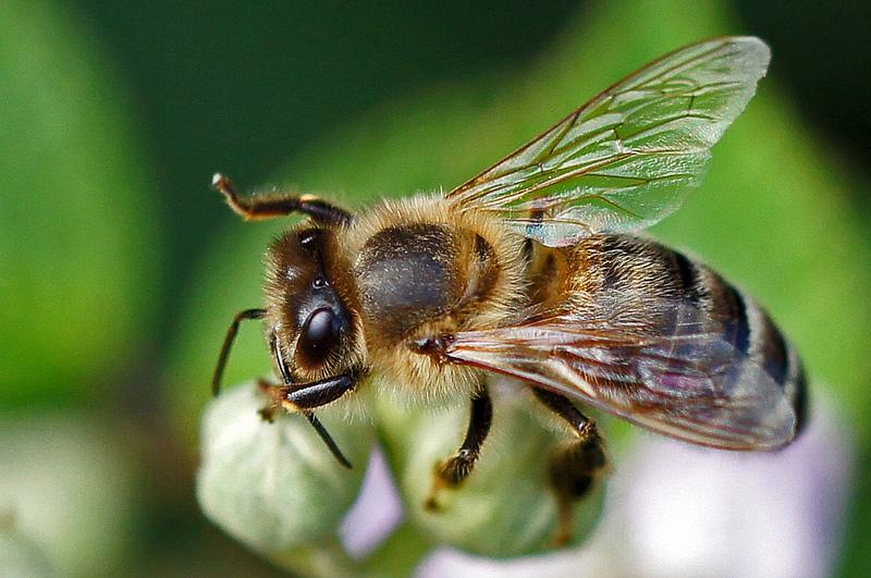 Pszczoły – owady warte ochrony!